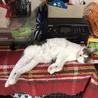 1歳6ヶ月 去勢済みのオス猫ちゃん2匹です。