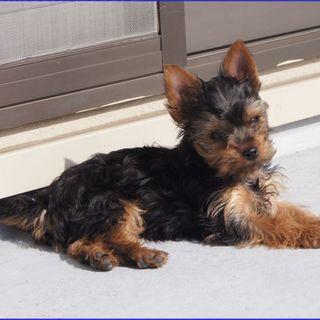 ヨーキー仔犬3ヵ月