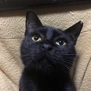 優しい黒猫、大切に飼って下さる方募集中