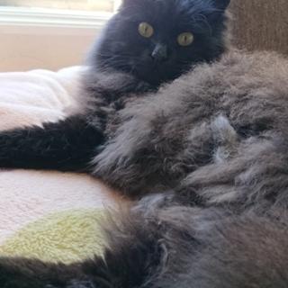 ふわふわの黒猫です!