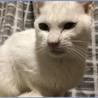 優しい白猫、大事に飼って下さる方募集中‼︎