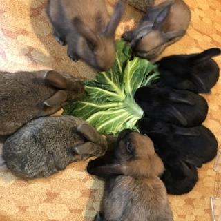 仔ウサギ H30.2.10生まれ  一時募集中止