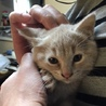生後2ヶ月アイボリーのトラ(雄)