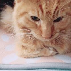 猫餌食べない 理由 猫伝染性腹膜炎(FIP)
