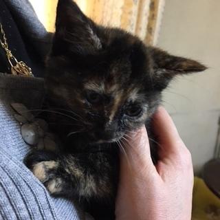 生後2ヶ月サビ猫(メス)