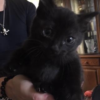 生後2ヶ月黒猫(オス)