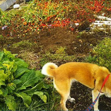 春の散歩はイチゴの誘惑。後頭部まで白髪が目立ってきた