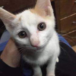 茶白のおっさん子猫(けど、かわいい)