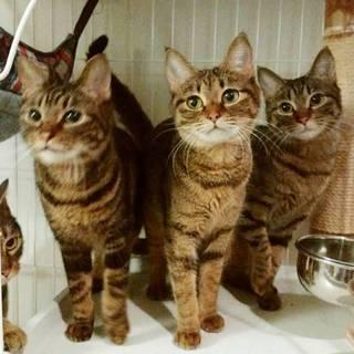 丸顔美猫キジトラ姉妹ペアで
