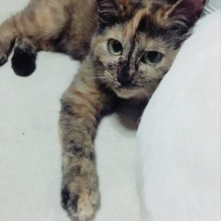 ビビリちゃんな 美しい サビ猫ちゃん