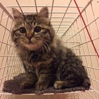 長毛ふわふわ美猫♪『タヌちゃん☆』