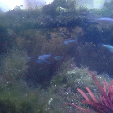 真鶴の海で採ったさかな 今では、少し大きなボラになりました。