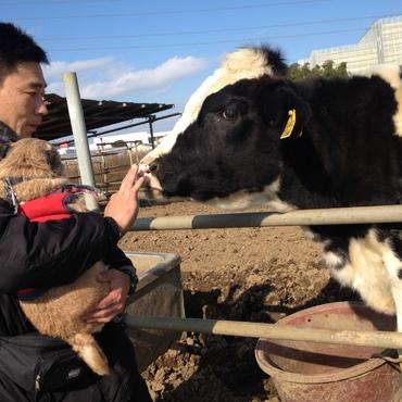 牛に挨拶するプッシュ。