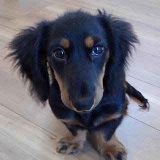 Mダックス4ヶ月の可愛い男の子です!