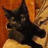 ボブテイル☆黒猫くん
