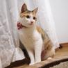 甘えん坊の美人三毛子猫さん避妊済♪