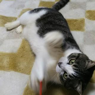猫エイズですが、元気で可愛い甘えん坊パール