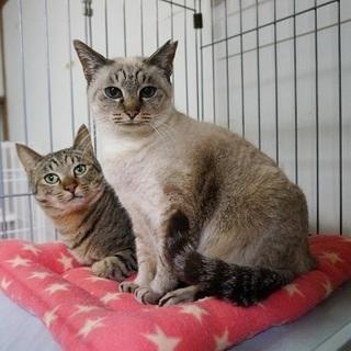 シャム系ミックスの猫