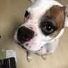 ボクサー犬 サムネイル2
