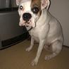ボクサー犬 サムネイル3