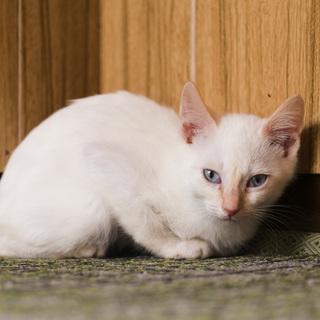 目が青いマイペースな白猫・2.5ヶ月の子猫