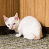 目が青いマイペースな白猫・2.5ヶ月の子猫 サムネイル2