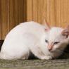 目が青いマイペースな白猫・2.5ヶ月の子猫 サムネイル4