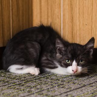 おっとりハチワレ白グレー縞模様・2.5ヶ月の子猫