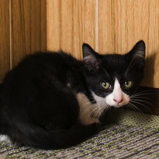 好奇心旺盛 ハチワレ白黒(鼻白)・2.5ヶ月子猫