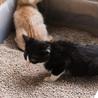 好奇心旺盛ハチワレ白黒(鼻白)・2.5ヶ月子猫 サムネイル2