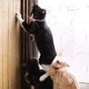 好奇心旺盛ハチワレ白黒(鼻白)・2.5ヶ月子猫 サムネイル3