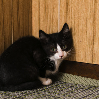 おとなしいハチワレ白黒・2.5ヶ月の子猫