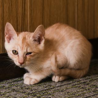 おっとり小柄ベージュ縞模様・2.5ヶ月子猫
