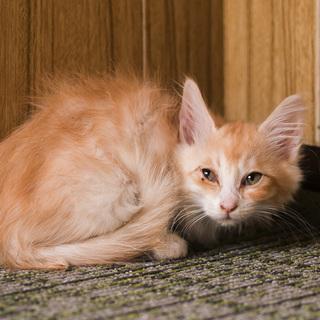 おとなしいベージュ長毛・2.5ヶ月子猫