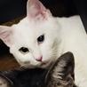白猫オッドアイ♀里親募集