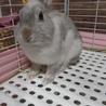 ミニウサギ(♀)