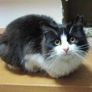 ふわふわ長毛の甘えん坊さん(子)猫