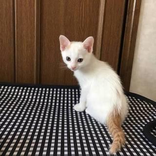 生後2カ月 子猫のマフちゃん 女の子 里親募集
