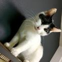 ★やんちゃなぶち猫女子★白黒仔猫★右眼白濁