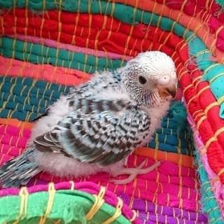 セキセイインコ雛1羽(生後1ヶ月未満)
