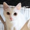 美しい白猫・ましろ