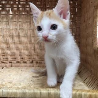 生後2カ月 子猫のカンちゃん 女の子 里親募集
