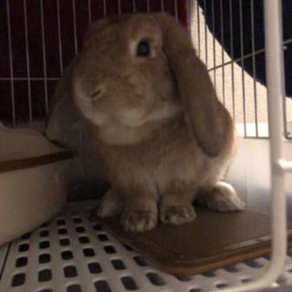 【急募】ロップイヤーラビット♂ 2歳