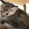 トラ猫短毛(1)