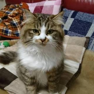 サイベリアン似の長毛種猫!里親募集