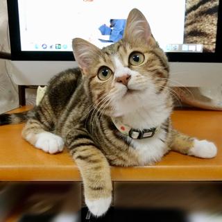 アメショっぽいロッカはツンデレわんぱく子猫