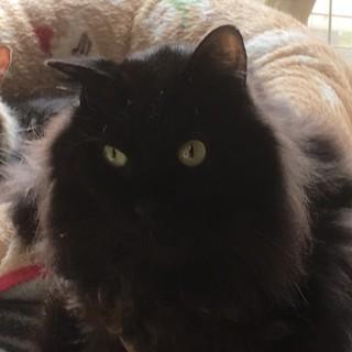 【ロン】おいしいものが大好きな長毛黒猫男子
