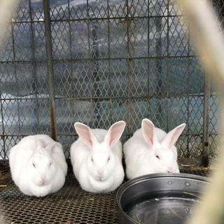 ジャパニーズホワイトのメス4匹の里親募集中です。