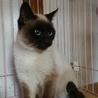 とても綺麗なブルーアイのシャム猫貰って!