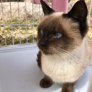シャム風のオスの猫